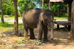 reisebericht golf von thailand, kohchang, provinz, trat, elefant, elefantencamp, elefantenreiten, suedostasien, asien